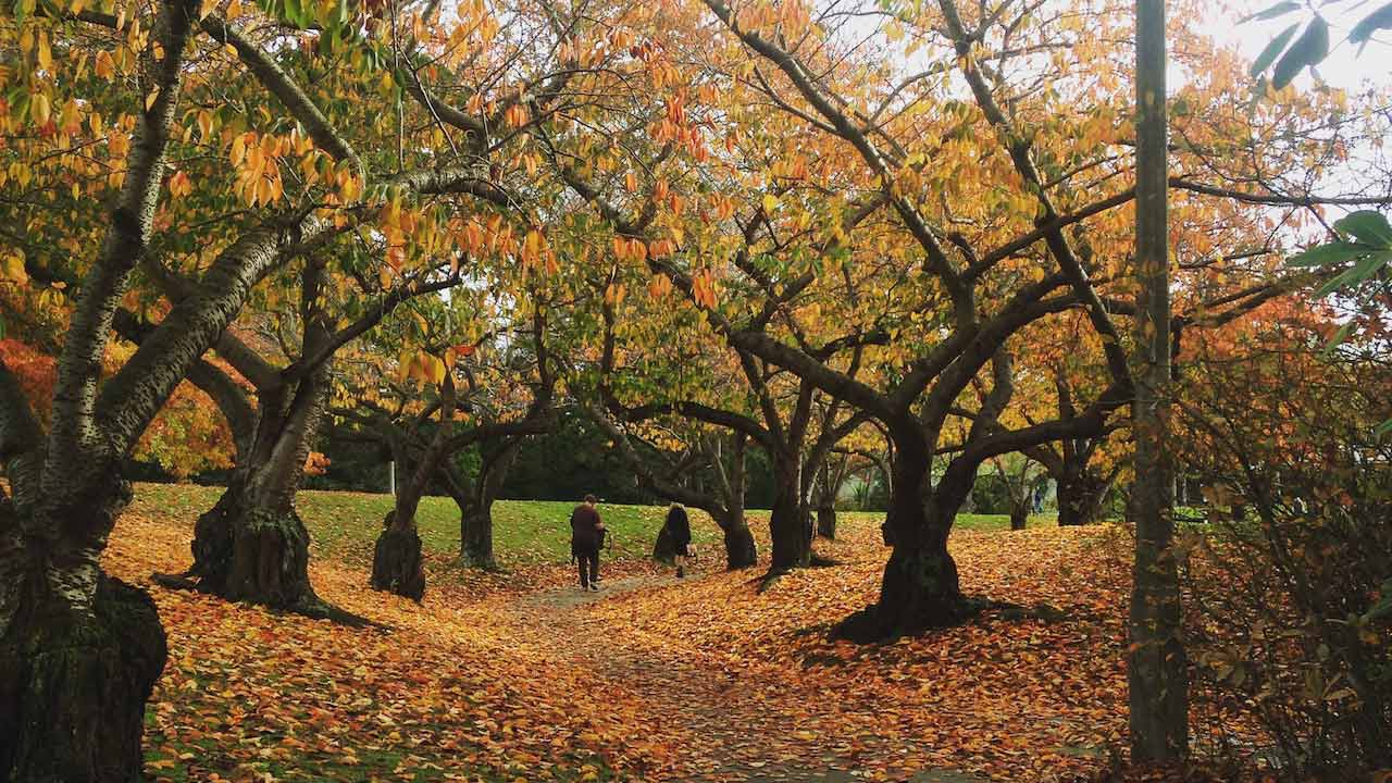 Orange and yellow foliage falls from trees and covers the ground on University of Canterbury's campus
