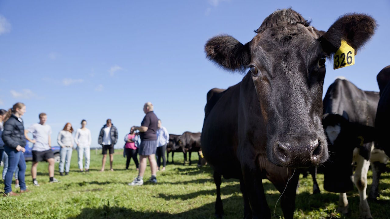 Students stand on a field near a group of black cows